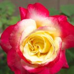 Double Delight Rose @ Hello Hello Plants
