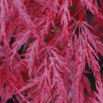 Japanese Maple Red Weeping 'Inaba Shidare'