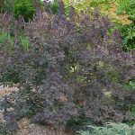 Shrubs- Medium 75-150cm