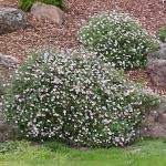 Shrubs- Small up to 75cm