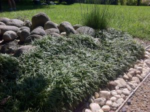 A border/patch of Dwarf Mondo Grass