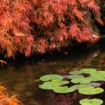 Boutique Japanese Weeping Maples