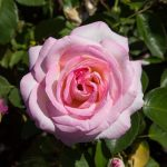 Princess De Monaco Rose