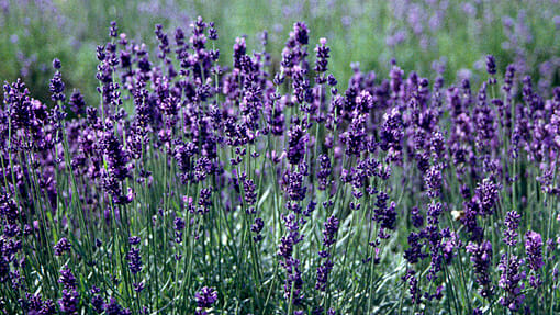 lavender hidcote 6 pot hello hello plants garden supplies. Black Bedroom Furniture Sets. Home Design Ideas