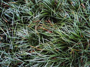 Tall Mondo Grass mass planted for a carpet effect