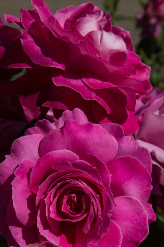 perfume delight rose 3ft standard hello hello plants