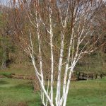 Silver Birch - Multi Trunked @ Hello Hello Plants