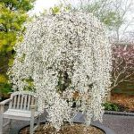 Falling Snow Weeping Cherry