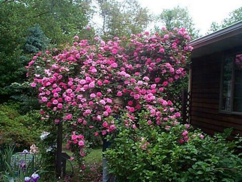 zephirine drouhin rose hello hello plants garden supplies. Black Bedroom Furniture Sets. Home Design Ideas