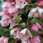 "Malus ""Iowa Crab Apple"" @ Hello Hello Plants"