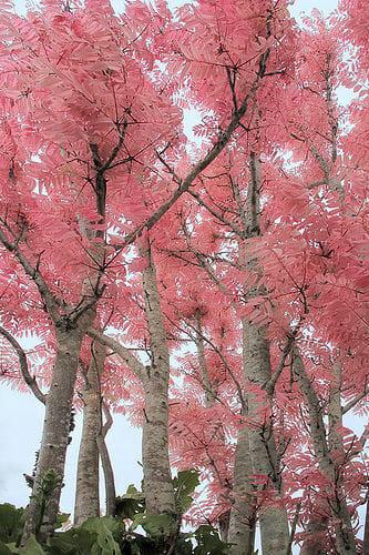 Chinese Pink Cedar Hello Hello Plants Amp Garden Supplies