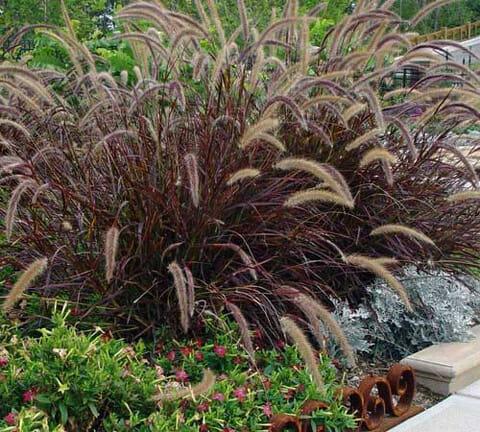 Red foxtail grass hello hello plants garden supplies for Fountain grass garden