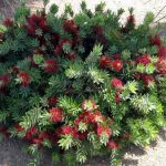 "Callistemon ""Little John"""