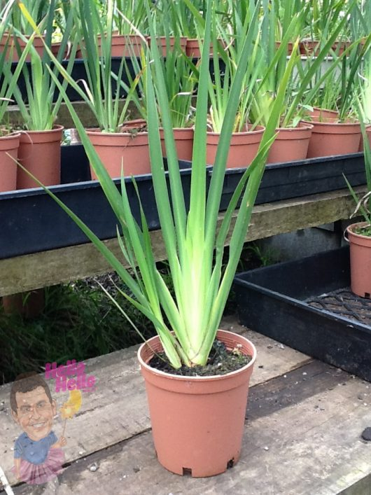 "Dietes 'Butterfly Grass' 6"" Pot"