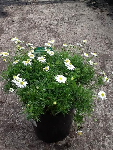 Cut Leaf Daisy White Hello Hello Plants Amp Garden Supplies