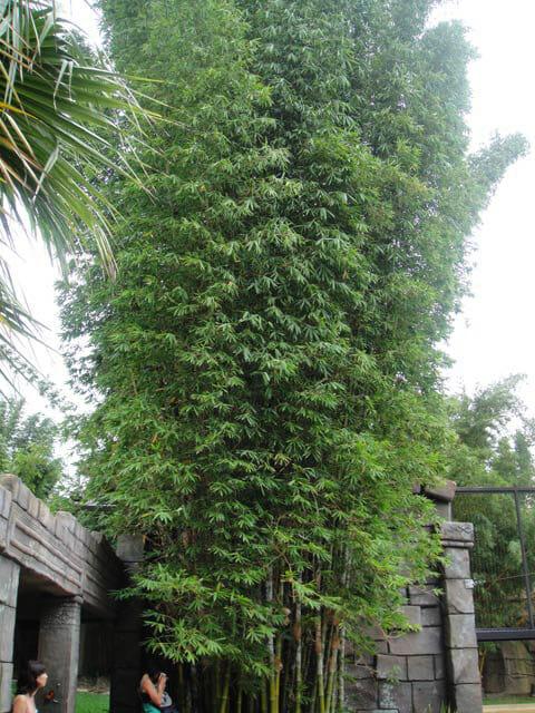 Bamboo Old Hamii 10 Pot Seconds Hello Hello Plants