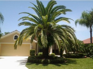 Mid size Canary Island Date Palm with plenty of room to mature.