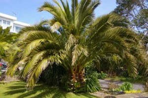 Canary Island Date Palm around 10 years old.
