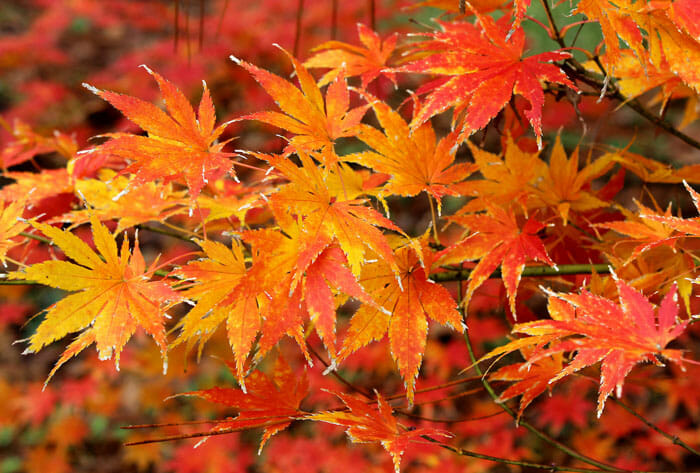 "Japanese Maple 8""..."