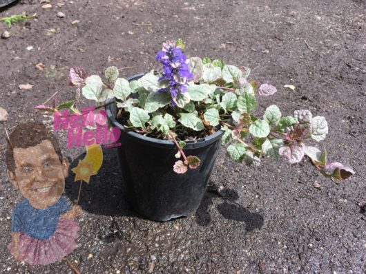 Ajuga bugleweed 6inch In Store @ Hello Hello Plants