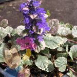Ajuga bugleweed flower 6inch In Store @ Hello Hello Plants