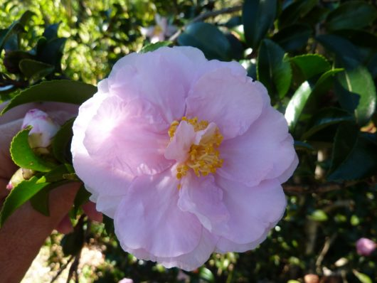 "Camellia ""Shell Pink"""