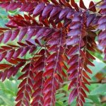 Gleditsia Ruby Lace