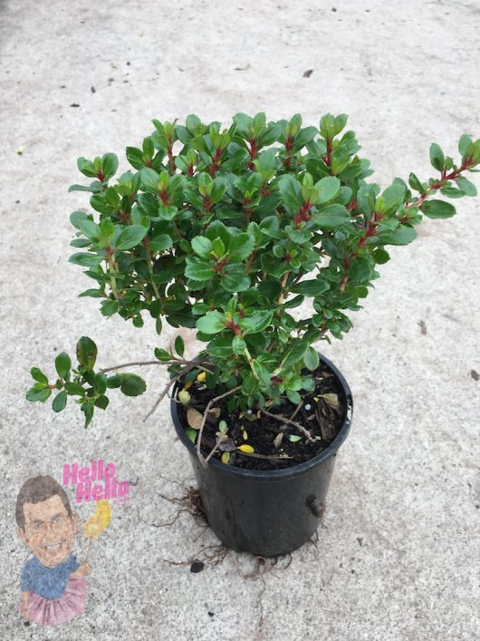 "Escallonia Pink Pixie 6"" Pot"