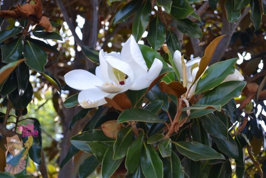 "Magnolia ""Little Gem"""