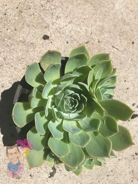 "Mexican Gem Succulant 6"" Pot"