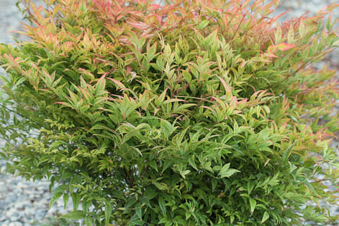 Nandina Moon Bay