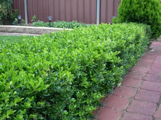 "Buxus Microphylla ""Korean Box"""