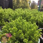 "Hebe Emerald Green 6"" Pot"