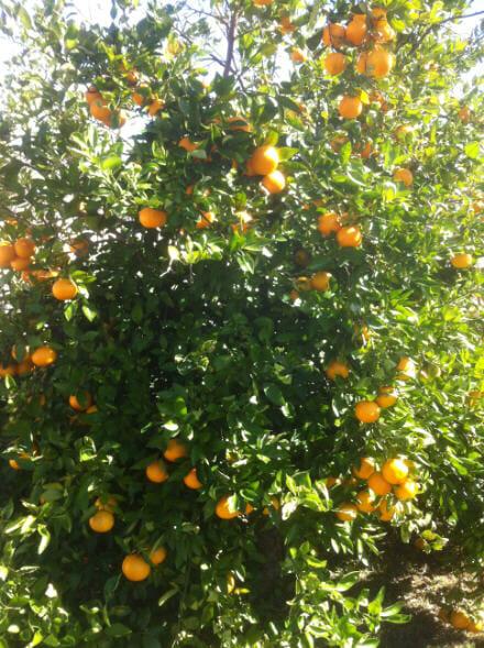 Citrus Tangello Orlando ...