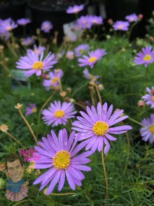 "Native Daisy ""Break O Day"""