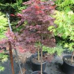 Japanese Maple Dwarf Kandy Kitchen 13 Pot Hello Hello Plants