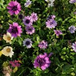 "African Daisy Purple 6"" Pot @ Hello Hello Plants"