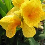 Canna Lily Dwarf Tropical Yellow
