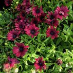 "African Daisy Burgundy 6"" Pot @ Hello Hello Plants"
