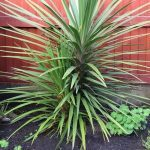 "Cordyline ""Aussie Outdoor Palm"