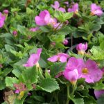 Bacopa Lambs Meadow Pink