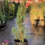 "Glauca Pencil Pine 8"" Pot"