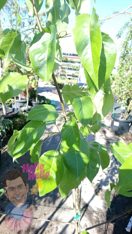 Everscreen Ornamental Pear 8inch pot In Store @ Hello Hello Plants