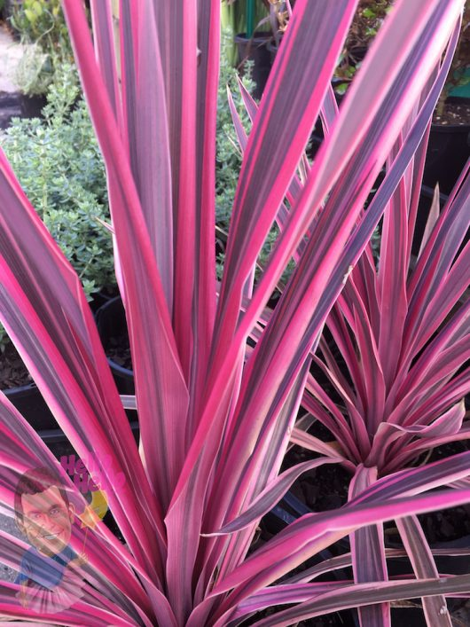 "Cordyline Pink Passion 8"" Pot"