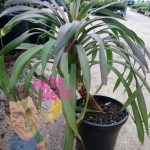 "Soft Leaf Yucca desmetiana 7"" pot In Store @ Hello Hello Plants"