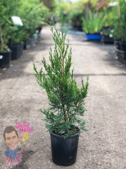 "Spartan Conifer 6"" Pot @ Hello Hello Plants"