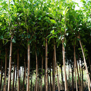Ficus Pleached up shot