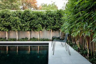 pleached-ficus-blog-image2