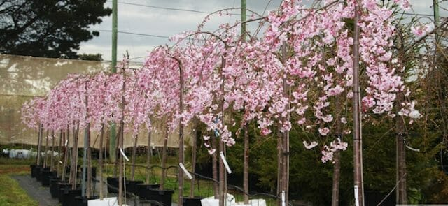weeping cherry tree clearance - news  plant sales  u0026 plant specials  plants