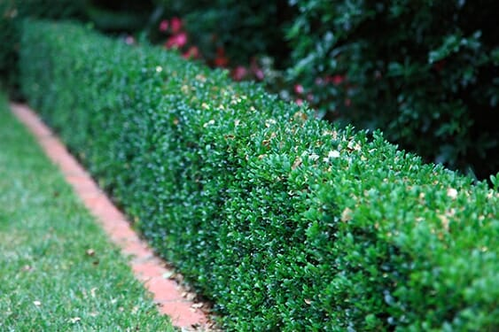 english-box-hedge1